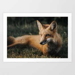 Beautiful fox Art Print