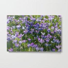 Purple Crocus Flowers Spring Metal Print