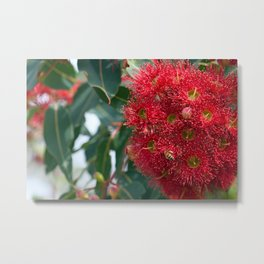 Red Flowering Gum Blossoms Metal Print