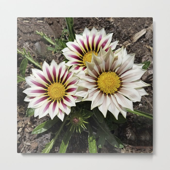 Zany Gazania - red and white stripes Metal Print
