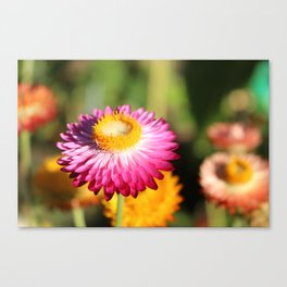 Straw Flowers, Hansville, WA Canvas Print