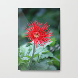 Red Hot Daisy Metal Print