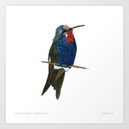 Blue-tufted Starthroat Art Print