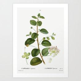 Caper (Capparis Spinosa) from Traite des Arbres et Arbustes que lon cultive en France en pleine terr Art Print