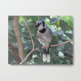 Chattering Jay Metal Print