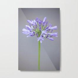 blossom agapanthus flower Metal Print