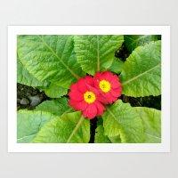 Little red primula flower Art Print