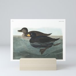 American scoter duck, Birds of America, Audubon Plate 408 Mini Art Print