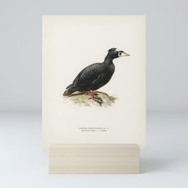 Surf Scoter male (Oidemia perspicillata) illustrated by the von Wright brothers. Mini Art Print