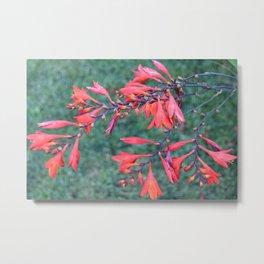 Flower   Flowers   Red Trumpet Vine Metal Print