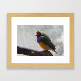 Gouldian Finch Framed Art Print