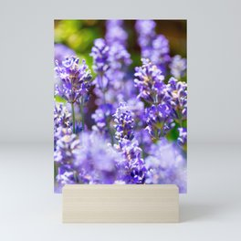 Bunch of beautiful lavender flowers in close-up from France Mini Art Print