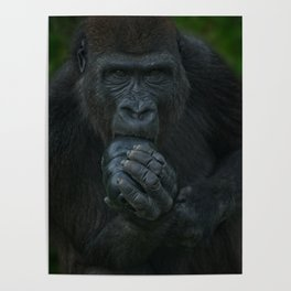 Lope The Gorilla Looking At You Poster