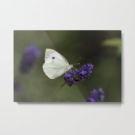 Cabbage butterfly feeding on lavender Metal Print