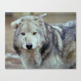 Bruised Wolf Canvas Print