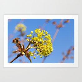 flowering maple tree Art Print
