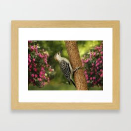 Juvenile Red Bellied Woodpecker Framed Art Print