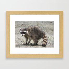 What's up? Raccoon caught in the act. By Jonesy Framed Art Print