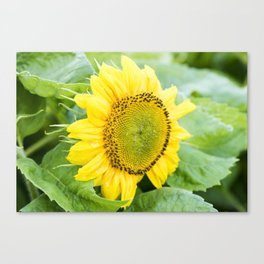 Teddy Bear Sunflower Bloom Canvas Print