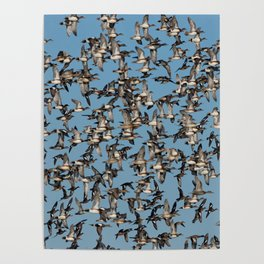 Wintering Ducks in Flight Poster