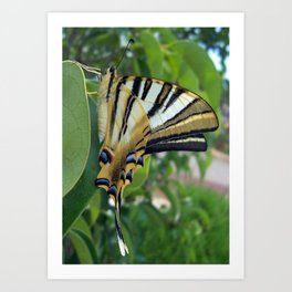 Swallowtail With Partially Closed Wings Side View Art Print