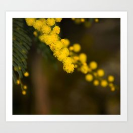 mimosa flower Art Print