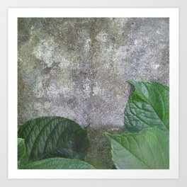 Urban Plant hydrangea leaves on concrete wall Art Print