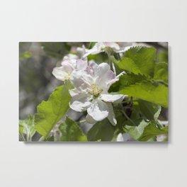 flowers of apple Metal Print