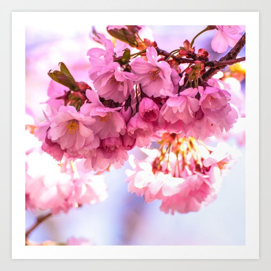 Pink Japanese Cherry Blossom, Sakura Art Print