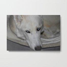 siberian husky in his bed Metal Print