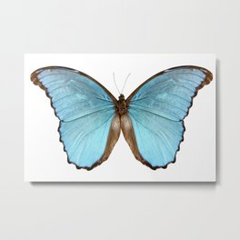 Butterfly species Morpho menelaus alexandrovna Metal Print