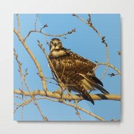 Redtail Hawk Metal Print
