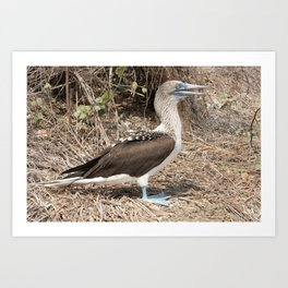 Adult Blue Footed Boobie Art Print