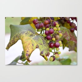 Green and purple grapes on the vine Canvas Print