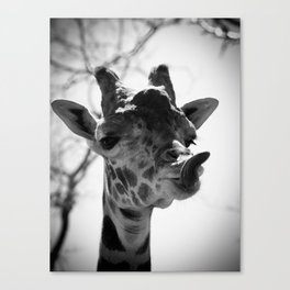 Giraffe Sticks Out Tongue Nature Photography Canvas Print