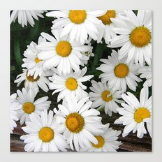 Daisy Blooms Canvas Print
