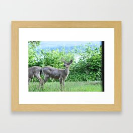 Young buck on the lawn 7 Framed Art Print