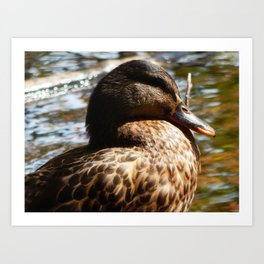 Resting female mallard Art Print