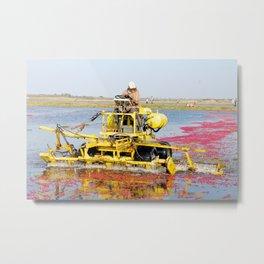 Cranberry Harvest Metal Print