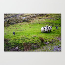 The Sheep Dogs Canvas Print