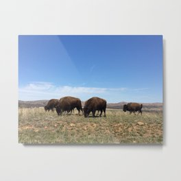 Bison Grazing Metal Print