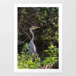 Gray heron on the edge of a pond Art Print