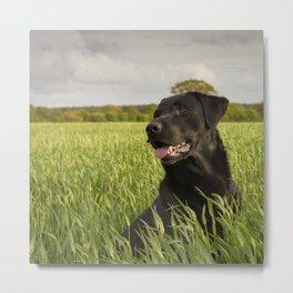 Black Labrador in a field Metal Print