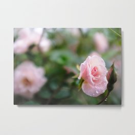 Fresh Rose Metal Print