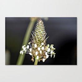 Buckhorn flower top close up Canvas Print