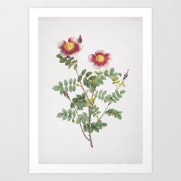 Vintage Variegated Burnet Rose Illustration Art Print
