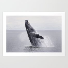 A Humpback Whale breaches from the calm waters of Frederick Sound at sunset, Inside Passage, Alaska  Art Print