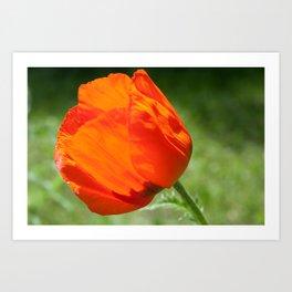A Poppy  Art Print