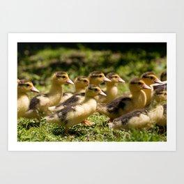 Yellow Muscovy duck ducklings running Art Print
