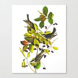 Blackpoll Warbler Bird Canvas Print